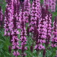 Salvia New Dimension Rose - 20 seeds
